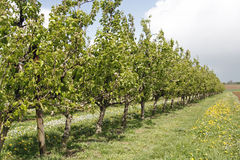 Apple Trees. Row of apple trees placed diagonally royalty free stock images