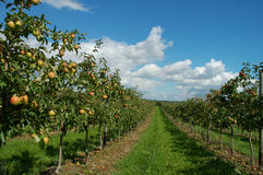 Apple-trees Royalty Free Stock Photo