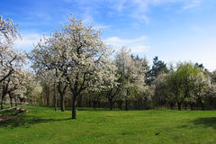 Apple trees. Several flowering apple trees and a clouds in the blue sky Stock Photography