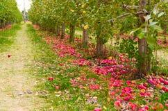 Apple Trees Stock Photo
