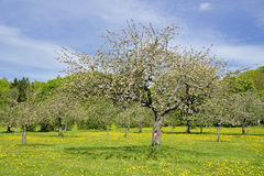 Apple trees Stock Photo