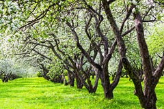 Apple-trees Stock Images
