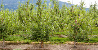 Apple trees Royaltyfria Bilder