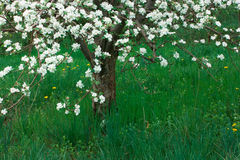 Apple trees Stock Photography