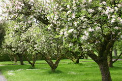 Apple Trees. Orchard of apple trees Stock Photography