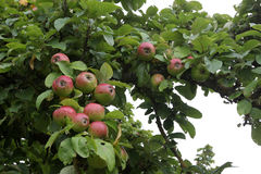 Apple trees. Agriculture / Apple trees in the garden royalty free stock photography