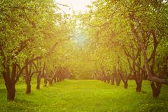 Apple trees alley. Stock Photos