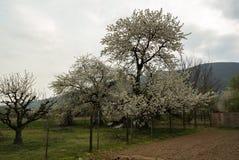 Apple Trees Along Rural Road Royalty Free Stock Photo