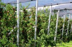 Apple trees in Alto Adige. Royalty Free Stock Photo