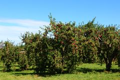 Apple trees. Ready for harvest in fall in Southern Quebec stock photography
