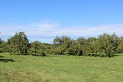 Apple trees. Ready for harvest in fall in Southern Quebec stock photo