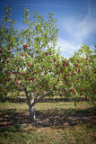 Apple trees Royalty Free Stock Photo