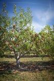 Apple trees Royalty Free Stock Photo