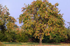 Apple trees. Beautiful old apple trees full of ripe red and yellow cider apples stock photography