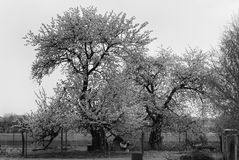 Apple Trees Black And White Stock Photography