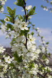 Apple trees in bloom. Close up of apple blossoms bloom (spring flowering apple). Inflorescence flowers of apple tree Stock Photography