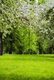 Apple trees in bloom Royalty Free Stock Photography