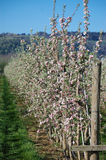 Apple Trees in Bloom. Line of apple trees in full bloom on the plantation Stock Images