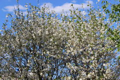 Apple trees  bloom. Apple trees  all in white  bloom in spring Stock Images