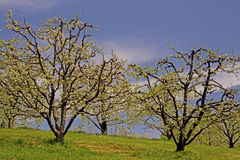 Apple trees in bloom beneath a blue sky. Royalty Free Stock Photo