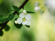 Apple trees in bloom Stock Photography