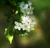 Apple trees in bloom Stock Photos