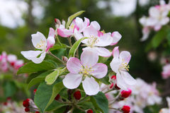 Apple trees in bloom Stock Images