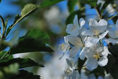 Blossom of apple trees. Royalty Free Stock Photography
