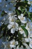 Blossom of apple trees. Royalty Free Stock Images