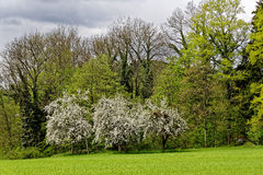 Apple trees in bloom at forest Stock Photography