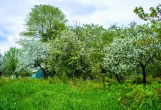 The apple trees are in bloom. In spring the flowers of the apple trees are visible. It`s really a beautiful landscape. Photo taken on my land, the apple trees royalty free stock photography