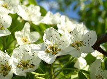 Apple trees are blooming. Royalty Free Stock Photos