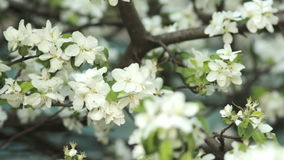 Apple trees blooming in spring. Nature awakening. Fruit garden in blossom. Small green leaves and white flowers on tree stock footage