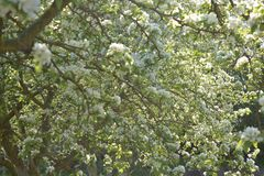 Apple trees in blooming with white flowers royalty free stock photography