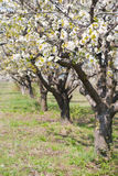 Apple trees in blossom Royalty Free Stock Photography