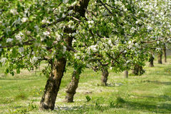 Apple trees in blossom. Apple orchard in full blossom. Row of trees Royalty Free Stock Images