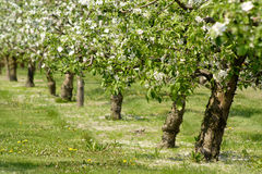 Apple trees in blossom. Apple orchard in full blossom. Row of trees Stock Image