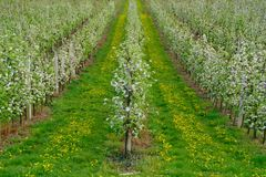 Apple Trees Blossom in Spring Stock Photos