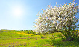 Apple trees blossom under blue sky Stock Images