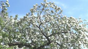 Apple trees in blossom. Trees in whole, flowers close views, branches. Recorded in park Kolomenskoye, Moscow stock video