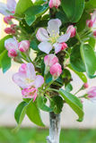 Apple trees blossomed Royalty Free Stock Photography