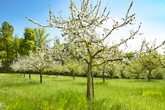 Apple trees in blossoms,  spring time in orchard with apple trees Stock Photography