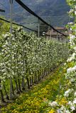 Apple trees in blossoms Stock Photos