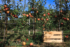 Apple trees and a box for fruits Royalty Free Stock Photos