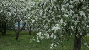 Apple trees in the city. Apple trees Blooming apple tree White flowers Spring Juicy greensn stock video footage