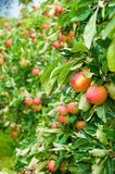 Apple trees Falstaff - orchard. Red  apples Falstaff on apple trees branches in the orchard Royalty Free Stock Photography