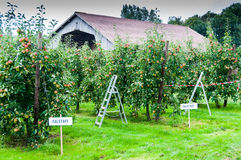 Apple trees Falstaff - orchard Royalty Free Stock Image