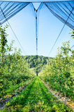 Apple Trees Farm by Summer Royalty Free Stock Images