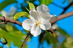 Apple Trees Flower. Spring apple tree blossom flower, closeup royalty free stock photo