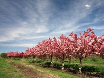 Apple trees with flowers horizontal view Stock Images